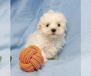 Maltese Puppy for sale in CASSVILLE, MO, USA