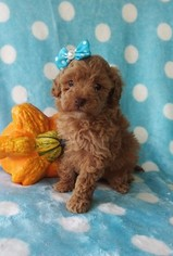 Poodle (Toy) Puppy for sale in EDEN, PA, USA