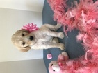 Goldendoodle Puppy For Sale in WARWICK, RI, USA