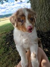 Australian Shepherd Puppy For Sale in PURDY, MO, USA