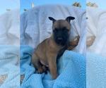 Puppy 9 Belgian Malinois