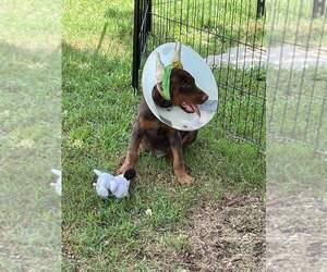 Doberman Pinscher Puppy for sale in DEEP GAP, NC, USA