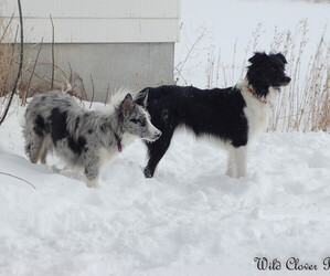 Border Collie Puppy for sale in GLENCOE, MN, USA