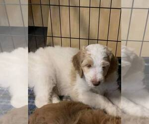 Goldendoodle-Poodle (Standard) Mix Puppy for sale in RUSSELLVILLE, KY, USA