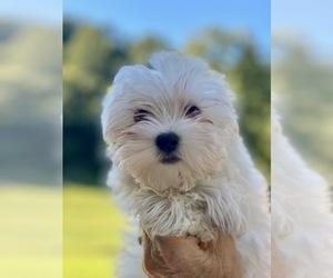 Maltese Puppy for Sale in CORNERSVILLE, Tennessee USA
