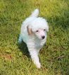 Poodle (Toy) Puppy For Sale in REDDICK, Florida,