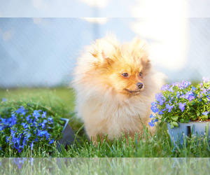Pomeranian Puppy for sale in WOOD DALE, IL, USA
