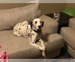 Dalmatian Puppy For Sale in FOUNTAIN, CO, USA