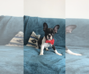 French Bulldog Puppy for Sale in PAWTUCKET, Rhode Island USA