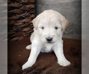 Goldendoodle-Poodle (Miniature) Mix Puppy for sale in HUTCHINSON, KS, USA