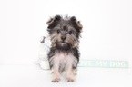 Clay Male Morkie Puppy
