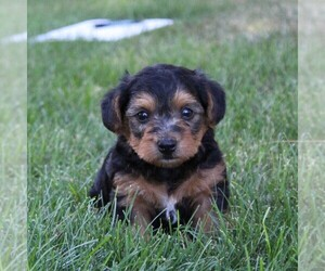 Yorkie-Poo Puppy for sale in KINZERS, PA, USA