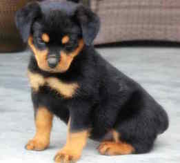 Rottweiler Puppy for sale in FAIR PLAY, SC, USA