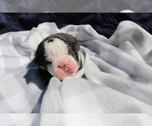 English Bulldog Puppy for sale in ALAMO, CA, USA