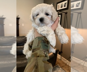 Maltese Puppy for Sale in KILLEEN, Texas USA