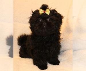 Shih Tzu Puppy for sale in FRAMINGHAM, MA, USA