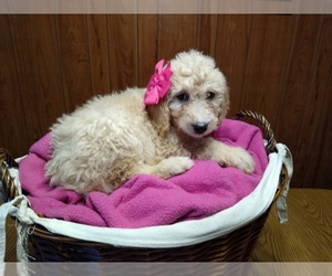 Goldendoodle-Poodle (Standard) Mix Puppy for Sale in VOLANT, Pennsylvania USA