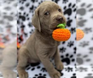 Labrador Retriever Puppy for sale in HOLLY SPRINGS, NC, USA