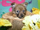 Pomeranian-Unknown Mix Puppy For Sale in HAMMOND, IN, USA