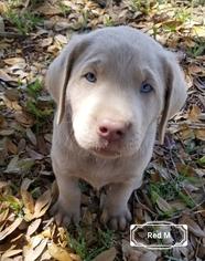 Labrador Retriever Puppy for sale in PEARSALL, TX, USA