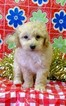 Maltese-Poodle (Toy) Mix Puppy For Sale in CONOWINGO, Maryland,