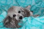 Poodle (Toy) Puppy For Sale in GRAY, LA,