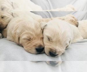 Golden Retriever Puppy for sale in WENATCHEE, WA, USA