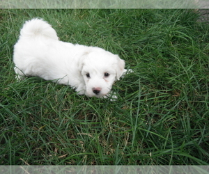 Medium Coton de Tulear