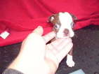 Boston Terrier Puppy For Sale in TUCSON, AZ