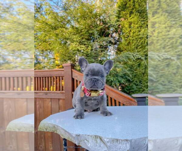 Medium Photo #1 French Bulldog Puppy For Sale in MARYSVILLE, WA, USA