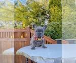 Small Photo #1 French Bulldog Puppy For Sale in MARYSVILLE, WA, USA