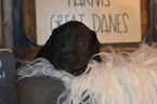 Great Dane Puppy For Sale in CEDAR HILL, Tennessee,