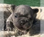 Small #47 French Bulldog