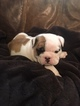 Bulldog Puppy For Sale in PEMBROKE, GA, USA