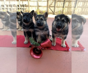 German Shepherd Dog Puppy for sale in CAROL CITY, FL, USA