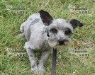 Schnauzer (Miniature) Puppy For Sale in SANGER, TX,