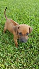 Rhodesian Ridgeback Puppy For Sale in HOUSTON, TX