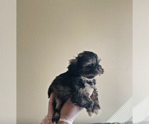 Shih Tzu Dog for Adoption in EL PASO, Texas USA