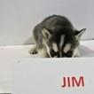 AKC Siberian Husky Black White Pup Jim