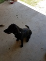 Labrador Retriever Dog For Adoption in YOUNGSVILLE, LA, USA
