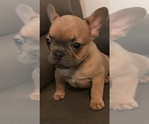 French Bulldog Puppy for Sale in CORPUS CHRISTI, Texas USA