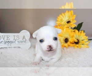 Chihuahua Puppy for sale in WAVERLY, IA, USA
