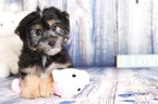 Morkie Puppy For Sale in NAPLES, Florida,