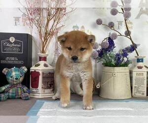 Shiba Inu Dog for Adoption in SAN JOSE, California USA