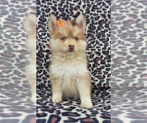 Pomsky Dog for Adoption in LANCASTER, Pennsylvania USA