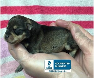 Schnauzer (Miniature) Puppy for sale in WINNSBORO, LA, USA