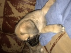 Mastiff Puppy For Sale in LAS VEGAS, NV, USA