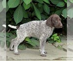Small #1 German Shorthaired Pointer