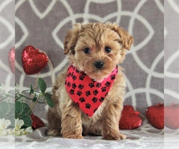 Medium Photo #3 Cavachon-Poodle (Miniature) Mix Puppy For Sale in GORDONVILLE, PA, USA