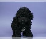 Puppy 13 Poodle (Miniature)